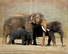 Elephant family capture by TN Fairey