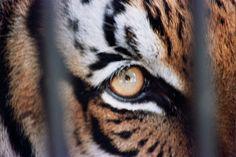 Tigers declared extinct - Cambodia