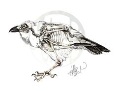Corvus corax: Common Raven Skeleton on Behance