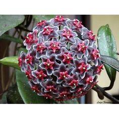 Kokulu Mum çiçeği - Hoya Royal Hawaiian Purple