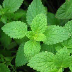 Mięta pieprzowa ziele z domowej apteczki
