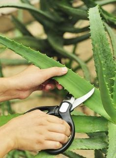 Tips On Picking Aloe Vera: How To Harvest Aloe Vera Leaves - Growing your own aloe plants and harvesting aloe leaves for smoothies and other consumables allows you to get the freshest supply of this amazing plant. Learn how to harvest aloe vera in this a