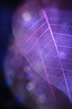 Leaf Skeletons ღPurple Lovinღ
