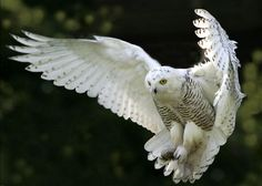 40 White Snowy Owl Pictures from the House of Gandalf - Tail and Fur Beautiful Owl, Animals Beautiful, Owl Bird, Pet Birds, Animals And Pets, Cute Animals, Owl Wings, Especie Animal, Black And White Birds
