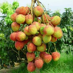Fresh lychee Litchi Fruit, Strawberry, Fresh, Gardening, Fruit Photography, Fruits And Vegetables, Strawberry Fruit, Strawberries, Strawberry Plant