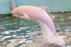 Albino/Pink Dolphin~