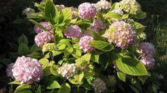 Aby hortenzie pekne vykvitli, zrežte ich Garden Design, Hydrangeas, Flowers, Plants, Garden, Florals, Floral, Hydrangea Macrophylla, Landscape Designs