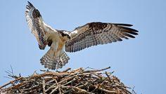 Osprey   Audubon Field Guide