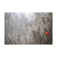 Winter Landscape, Preening Male Northern Cardinal Canvas Print