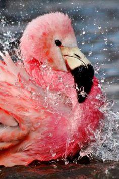 Amazing and cute flamingos Foto Flamingo, Flamingo Art, Pink Flamingos, Pretty Birds, Love Birds, Beautiful Birds, Animals Beautiful, Animals And Pets, Cute Animals