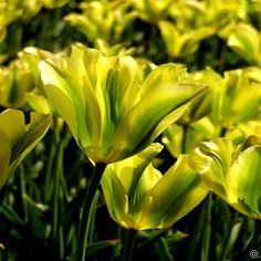 Viridiflora Tulpe Formosa - 10  blumenzwiebeln