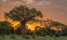 Tarangire National Park is full of baobab trees; old, huge, somber, and striking...