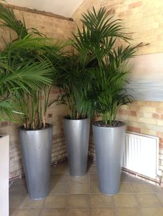Kentia palms in silver zinc containers
