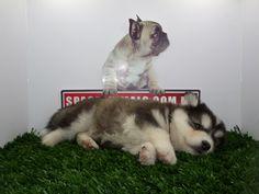 Compra venta de cachorros perros de raza Alaskan Malamute hembras y machos Spaceanimals.com.mx ¡Ahorros hasta del 50%! de Descuento y 12 Meses Sin Intereses paga seguro con Pay Pal , entrega Garantizada. Ventas por Teléfono: (01)(229) 2.60.31.86 / (01229) 3.06.02.03 / ID Nextel 42*15*597183 Móvil 22.99.60.60.77 / 22.92.91.20.91 WhatsApp Si estás en el extranjero llámanos al +52 229 260 3186 Encuentra las Mejores Razas en http://www.VentadeCachorrosPerros.com ¡Compra Ahora!
