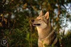 wolf dog! LOL!