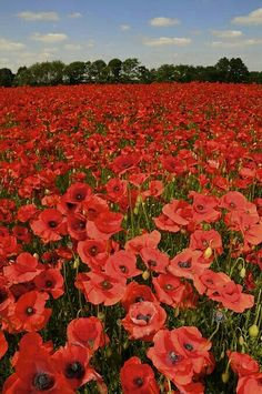 A sea of red poppies for you, Daddy Ralph. I'll never forget you, nor the stories you told. I pray for peace in a world seemingly standing on the brink of fresh destruction. Wild Flowers, Beautiful Flowers, Poppy Flowers, Photo To Art, Red Poppies, Beautiful World, Nature Photography, Scenery, Portraits
