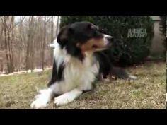 Dogs 101- Australian Cattle Dog - YouTube