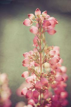 Heather ♥ #Pink #Flower