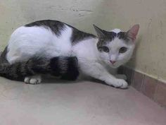 TO BE DESTROYED  ** BEAUTIFUL CAT WITH TWO NURSING KITTENS NEEDS A SAFE PLACE TO RAISE HER BABIES - At the time of this assessment she was resting quietly in the back of the kennel; allows petting, attention ** Brooklyn Center  My name is CHARLENE. My Animal ID # is A1011792. I am a female white and blk tabby domestic sh mix. The shelter thinks I am about 3 YEARS old.  OWNER SUR on 08/25/2014 from NY 11216, LLORDPRIVA. Group/Litter #K14-191577.