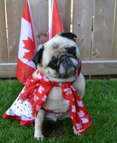 Bailey Puggins Canada Day Pug