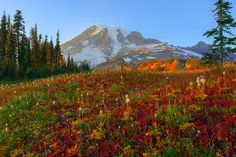 Fall Colors Bathed In Warm Light On Mazama Ridge - Mount Rainer National Park, Washington Mount Rainier National Park, Evergreen State, Mountain Photos, Autumn Scenery, Staycation, Nature Photos, Wild Flowers, Places To See, Landscape Photography