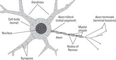The main structural parts of a neuron.