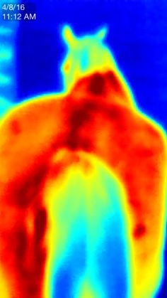 Thermal imaging is a great tool to detect heat and inflammation in your horse…