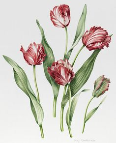 Pink Painting - Pink Parrot Tulips by Sally Crosthwaite