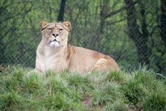 lioness.jpg (3000×2021)