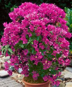 Bougainvilleas. Love sun, flower most when rootbound. Prefer to be a little on the dry side. Are cold sensitive, so protect from winter wind or move inside.