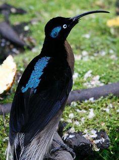#BIRDS: #Brown_Sickbill - http://dunway.com/bird_package/index.html