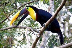 a Chestnut-mandibled Toucan, Costa Rica