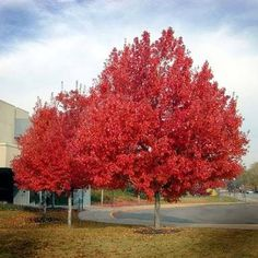 new jersey state tree Acer Rubrum, Trees Online, Air Fire, Irish Cottage, Plant Guide, Japanese Maple, Trees And Shrubs, Photo Reference, Geraniums