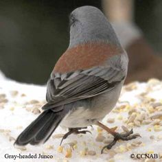 Gray-headed Junco (Junco hyemalis caniceps) is sometimes considered distinct species.