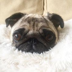 Follow us on Instagram @Puggify for more pugs! Our Pinterest is http://ift.tt/2cQqMpn #pugs #pug #cutepugs #puglover