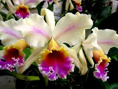 Cattleya rex from northern Andes - Orchids' Records - Softpedia