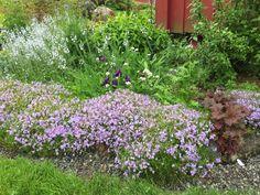 I begynnelsen av juni er dette bedet på sitt aller vakreste. Vårfloks, gamle, lave iris og noe annet jeg ikke vet hva heter Plants, Flora, Plant, Planting