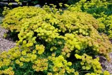 Low growing, shrubby evergreen, yellow flowers and good fall color Yellow Flowers, Colorful Flowers, Alpine Garden, Plant Images, Top Soil, Unique Plants, Fall Plants, Plant Nursery, Spring Blooms