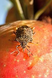USDA ARS Scientists Test Improved Trapping Methods for Stink Bugs: Stink bugs aren't just annoying, they're actually a threat to many of our fruit & vegetable crops as well.