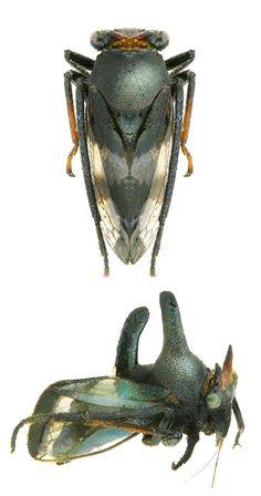 Membracidae Gen. sp.
