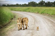 Zwei Löwen gehen mit ihrem Nachwuchs in der Masai Mara spazieren und lassen es auf einem Weg in Kenia nicht aus den Augen