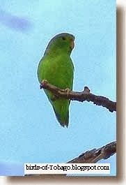Birds of Tobago is an online guide to the resident and migrant birds that can be seen in Tobago, Trinidad & Tobago, West Indies by Robert Brent Bird Guides, Parakeets, Tropical Birds, West Indies, Trinidad And Tobago, Caribbean, Wildlife, Green, Animals