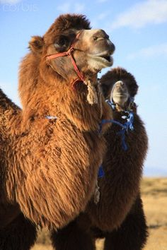 A bactrian camel and her calf, Mongolia