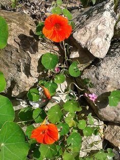 che gioia veder fiorire il nasturzio