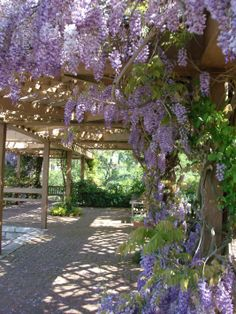 April 2012 wisteria, photo by Marti Schuller