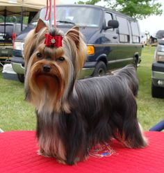 Ohio ~ JaLa Yorkies ~ Yorkshire Terriers for pets and show