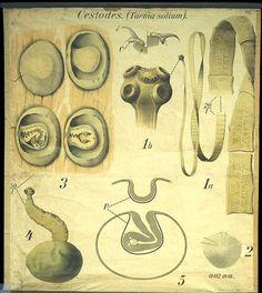 9 - De gewone lintworm van den mensch (Taenia solium). - Cestodes