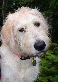 labradoodle dog - Google Search