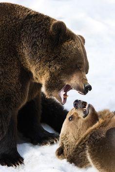 Bear(palko72)