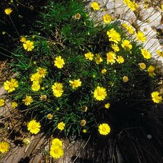 Angelita Daisy: good for small spaces | Photo from AZ Arboretum | 13 Flowers for the Southwest Desert | - Page 8